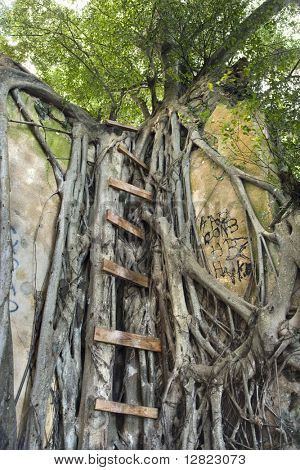 Ladder intertwined with Banyan tree in Maui, Hawaii, USA.