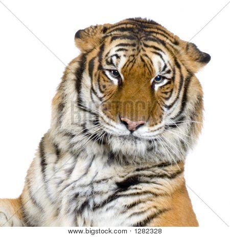 Cara de tigre
