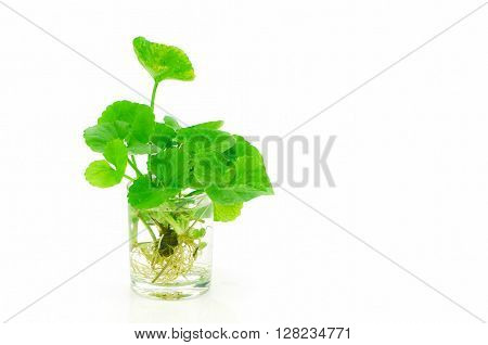 Indian Pennywort, Brain Tonic Herbal Plant.