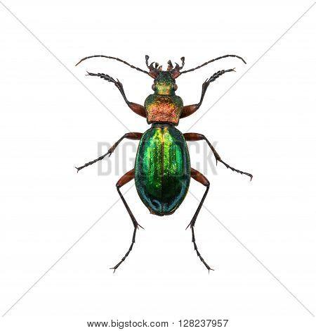 Ground beetle Calosoma inquisitor female or caterpillar-hunter isolated on white background