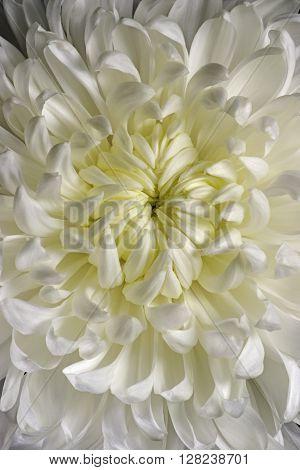 Hybrid chrysanthemum (Chrysanthemum x hybrid). Close up image of white flower