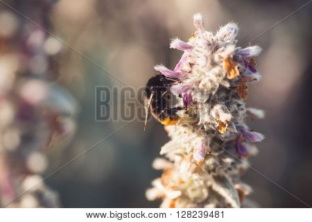 macro shot of a bumblebee collecting pollen from a flower.  with copyspace