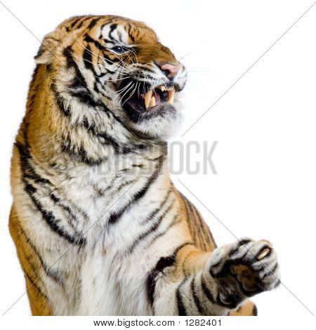 Tiger'S Snarling
