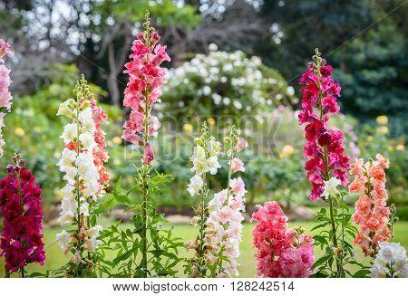Snap dragon flower (Antirrhinum majus) blooming in garden