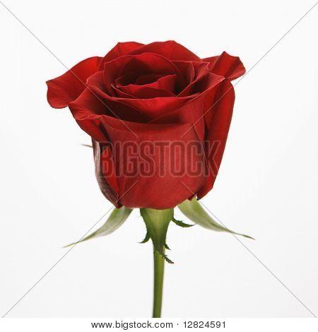 Single long-stemmed red rose against white background.