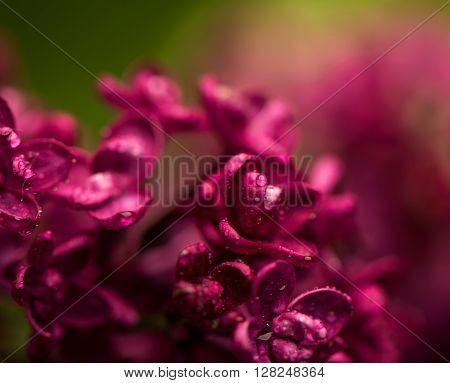 Spring lilac violet flowers floral background.Close up