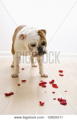 English Bulldog looking down at red rose pedals scattered on floor.