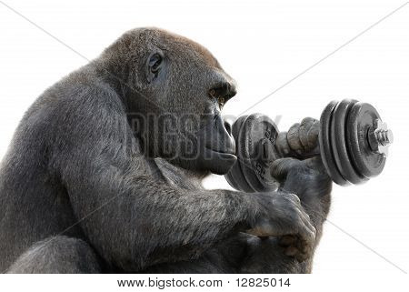 Gorilla Working Out With A Dumbbell