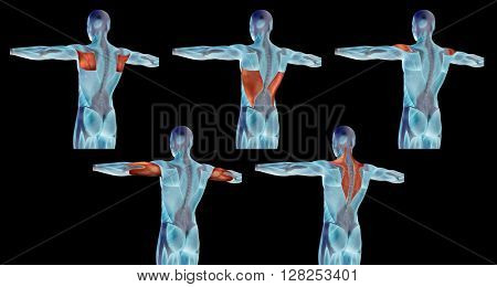 Concept or conceptual 3D back human anatomy or anatomical and muscle set or collection isolated on black background