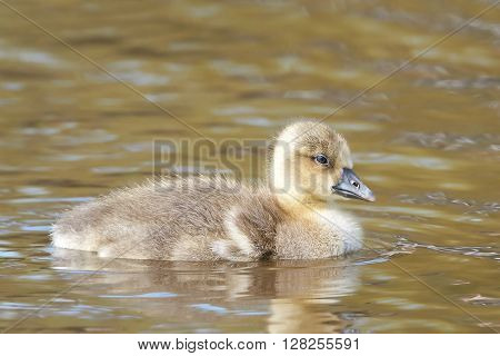 Litte fluffy Greylag gosling swimming in its habitat