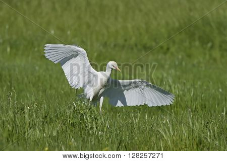 Cattle egret (Bubulcus ibis) landing in grass in its habitat