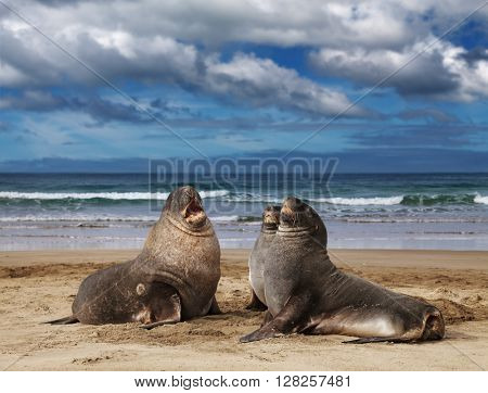 Sea lions on the beach, Cannibal Bay, New Zealand