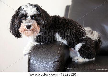 A Havanese dog