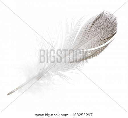 striped seagull feather isolated on white background