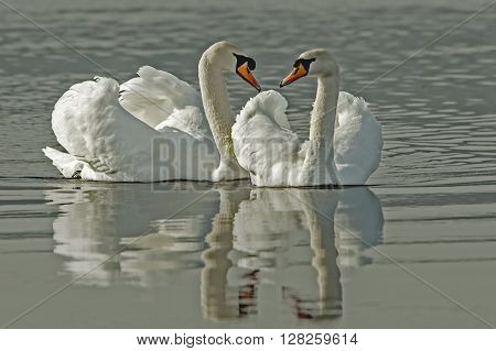 beautiful white swans on the spring river