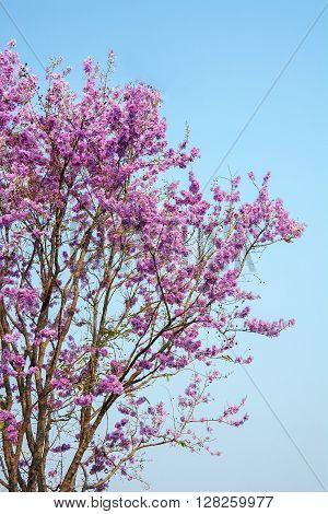 pink flower in blue sky sakura of thailand Beautiful cherry blossom with blue sky background