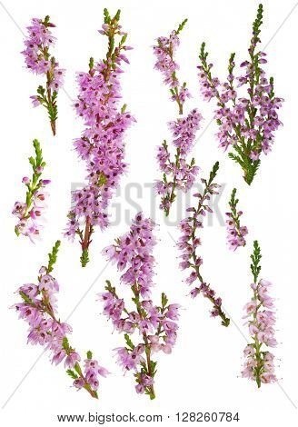 set of heather blossoms isolated on white background