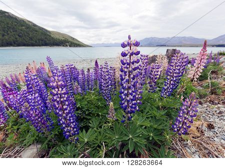 Close up shot of lupines wild flowers