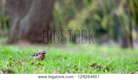 Little beautiful finch looking for food on a green grass