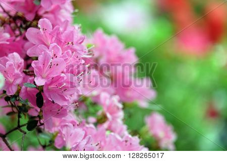 Beautiful pink azalea on green blurred background