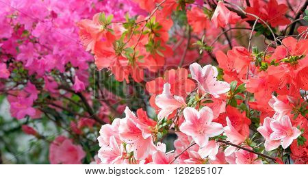Beautiful blooming colorful azaleas on a blurred background