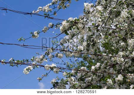 Blooming Apple Tree Behind The Fence Of Barbed Wire