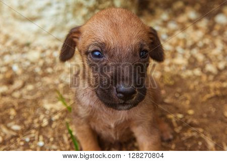 Small brown puppy, only 3 weeks old