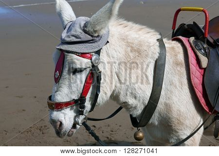 Closeup of Donkey wearing hat on Scarborough beach