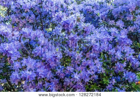 A closeup shot of a large Azalea bush with brilliant blue blossoms.