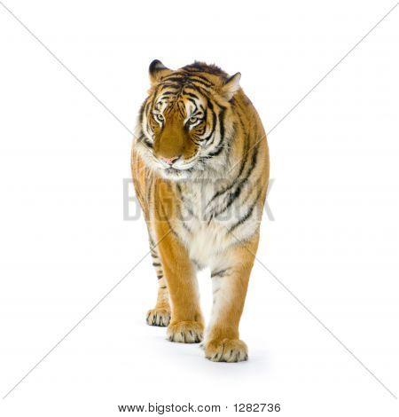 Tigre de pie