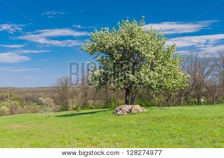 Spring landscape with two flowering pears interlaced in tight embraces