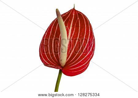Single Leaf Of Anthurium Flower