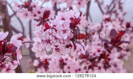 Branches Of Blooming Purple Leafed Plum.
