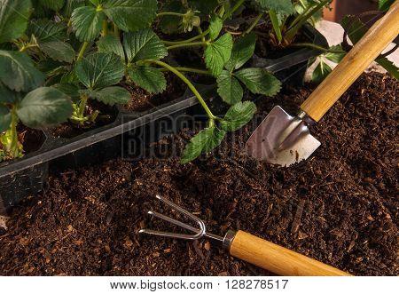 Garden Work. Planting Strawberry.