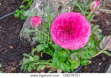 Pink Persian Buttercup Flower (ranunculus Asiaticus) With Buds.