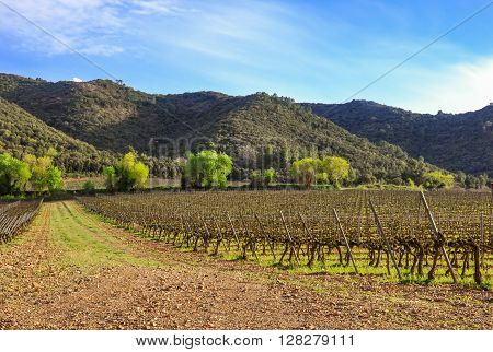 Beautiful  Spring Vineyard In Catalonia (spain).