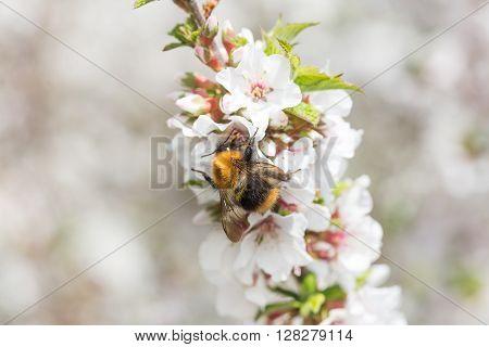 Macro bumblebee harvesting pollen from Cherry Blossom