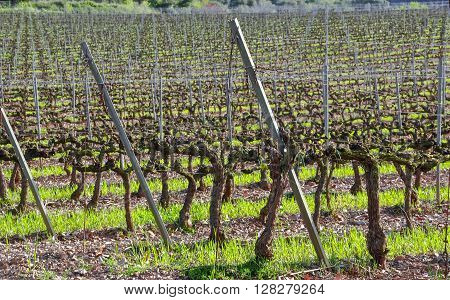 Spring vineyard in Catalonia (Spain). Sunny day.