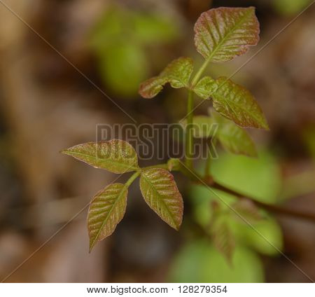 A Poison Ivy stem (Toxicodendron radicans) leafing out in spring in York County Pennsylvania USA.