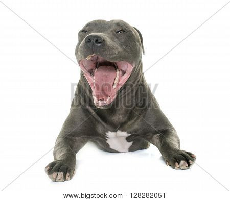 staffordshire bull terrier yawning in front of white background