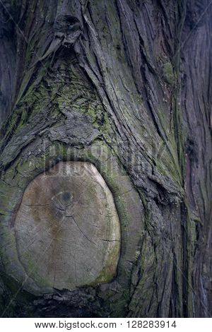 Tree bark texture. Tree trunk. Old wooden background. Detail of trunk. Natural rustical scene. Detail of rind, wooden rough crust. Abstract color photo texture. Monumental tree and its trunk with moss