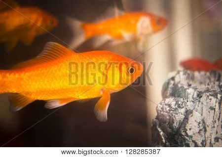 Goldfish Swimming In Fish Tank