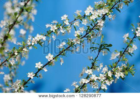 Plum blossoms on clear blue sky closeup