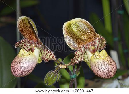 Paphiopedilum Orchid 'Pinocchio' Hybrid of Paphiopedilum Orchid species