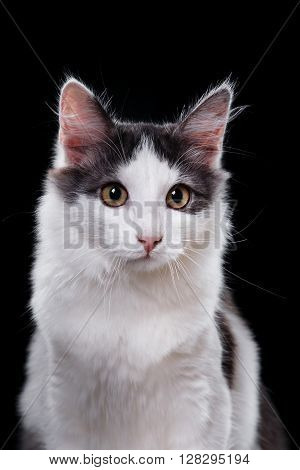 Young three-colored cat portrait on a black background