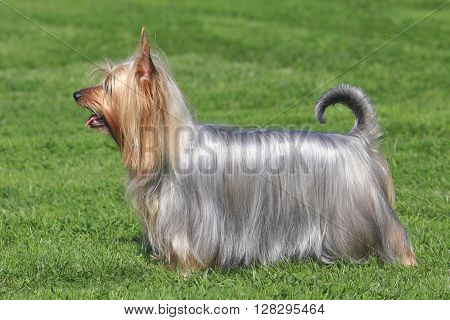 Typical Australian Silky Terrier in the spring garden