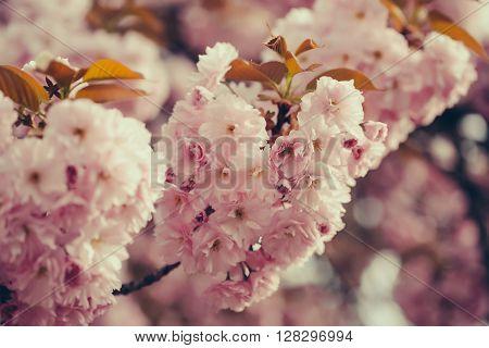 Pink Sakura Flowers In Blossom