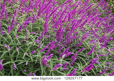 Colorful Amethyst Bush Salvia Sage flowers in purple shade in the garden