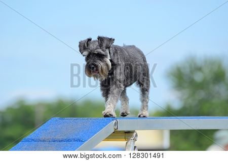 Miniature Schnauzer on a Dog Walk at Agility Trial