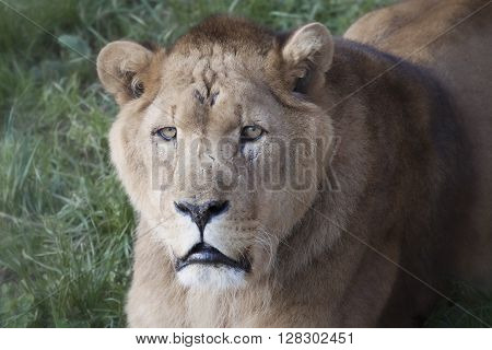 Close-up of a beautiful lioness on grass